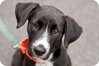 Labrador Retriever Mix Puppy for adoption in Santa Monica, California - Nike