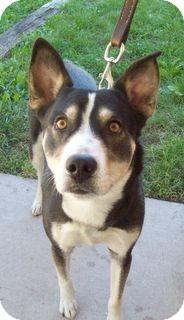 Husky/Shepherd (Unknown Type) Mix Dog for adoption in Marseilles, Illinois - Heather