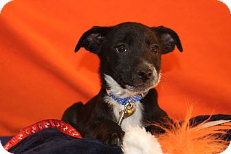 Border Collie/Australian Cattle Dog Mix Puppy for adoption in Broomfield, Colorado - Knowshon
