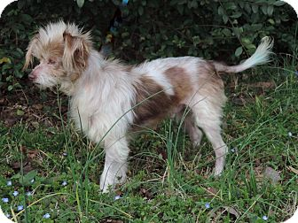 Terrier (Unknown Type, Small) Mix Dog for adoption in Anderson, South Carolina - Toby