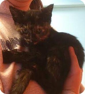 Domestic Shorthair Kitten for adoption in Westminster, California - Prima
