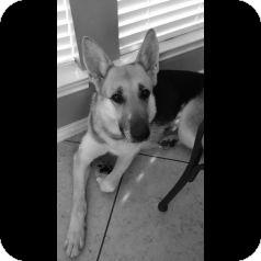 German Shepherd Dog Dog for adoption in Houston, Texas - Cami