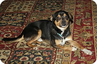 Chihuahua/Terrier (Unknown Type, Small) Mix Dog for adoption in Hamburg, Pennsylvania - Chico