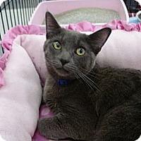 Domestic Shorthair Cat for adoption in San Dimas, California - Olivia