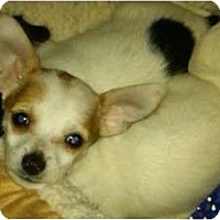 Adopt A Pet :: Trixie - Lake Forest, CA