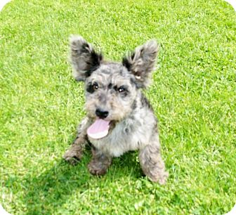 Dachshund/Miniature Poodle Mix Puppy for adoption in Liberty Center, Ohio - Patty