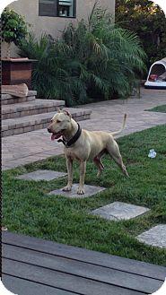 American Pit Bull Terrier Dog for adoption in Sherman Oaks, California - Bimmer