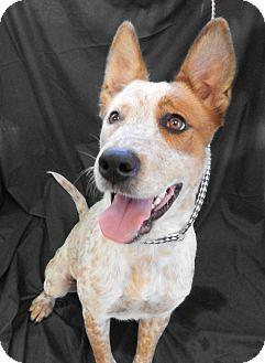 Blue Heeler Mix Dog for adoption in Azle, Texas - Heidi
