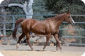 Quarterhorse Mix for adoption in El Dorado Hills, California - Miss Molly