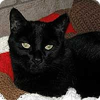 Domestic Shorthair Cat for adoption in Phoenix, Arizona - Abby