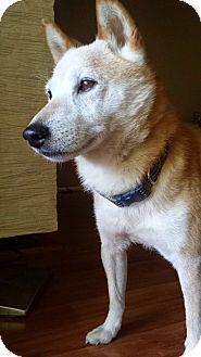 Shiba Inu Dog for adoption in Manassas, Virginia - Daiki