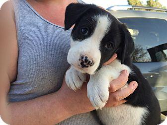 Labrador Retriever/Border Collie Mix Puppy for adoption in Studio City, California - Robbie