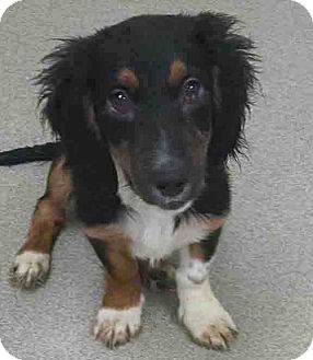 Dachshund Mix Puppy for adoption in Gahanna, Ohio - ADOPTED!!!   Cherry