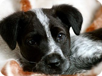 Pointer Mix Puppy for adoption in Conway, New Hampshire - Domino