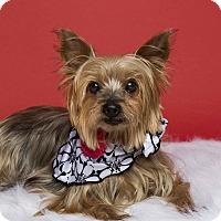 Adopt A Pet :: Lacey - Baton Rouge, LA