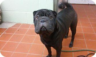 English Bulldog/Shar Pei Mix Dog for adoption in Long Beach, New York - Sherlock