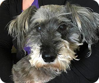 Schnauzer (Miniature) Mix Dog for adoption in Baton Rouge, Louisiana - Mr. Wilson