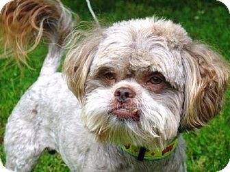 Shih Tzu/Poodle (Miniature) Mix Dog for adoption in Washington, D.C. - Chewie