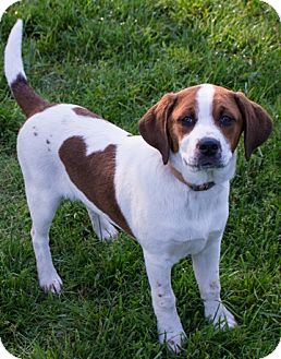 Basset Hound/Husky Mix Puppy for adoption in Fairfax, Virginia - Robin