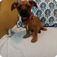 Adopt A Pet :: Molly - Davie, FL