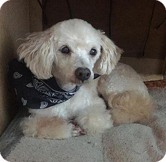 Toy Poodle/Poodle (Miniature) Mix Dog for adoption in Atlanta, Georgia - Pierre