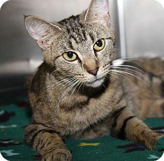 Domestic Shorthair Cat for adoption in Marietta, Ohio - Sasha (Spayed)