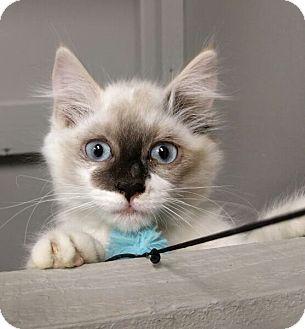 Siamese Kitten for adoption in Eureka, California - Taji