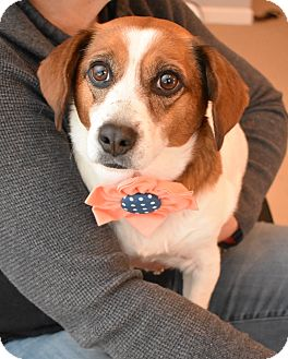 Beagle/Jack Russell Terrier Mix Dog for adoption in Rochester, New Hampshire - Merry