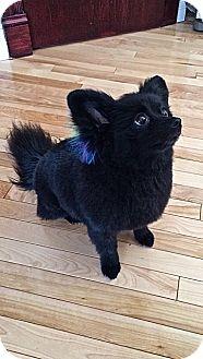 Pomeranian Mix Dog for adoption in Edmonton, Alberta - Hailey