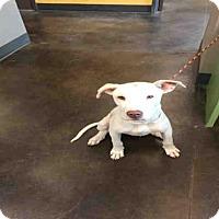 Adopt A Pet :: BLITZ - Norman, OK
