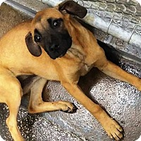 Adopt A Pet :: Mustang Sally - Oswego, IL