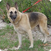 German Shepherd Dog Dog for adoption in Citrus Springs, Florida - Zenzi