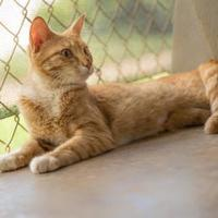 Domestic Shorthair/Domestic Shorthair Mix Cat for adoption in Lihue, Hawaii - Christina