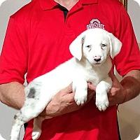 Adopt A Pet :: Maisy - Gahanna, OH