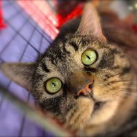 Adopt A Pet :: Percival - Baltimore, MD