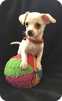 Chihuahua/Terrier (Unknown Type, Small) Mix Puppy for adoption in South San Francisco, California - Max