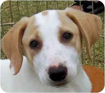 Border Collie/Labrador Retriever Mix Puppy for adoption in Olive Branch, Mississippi - Roberta