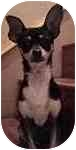 Chihuahua/Miniature Pinscher Mix Dog for adoption in Lake Arrowhead, California - Ricky