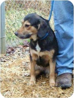 Labrador Retriever Mix Dog for adoption in Toronto/Etobicoke/GTA, Ontario - Sadie