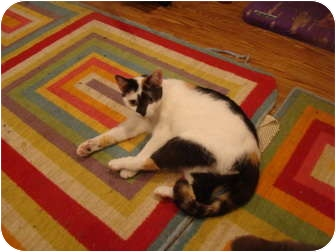Calico Cat for adoption in Muncie, Indiana - Cleo
