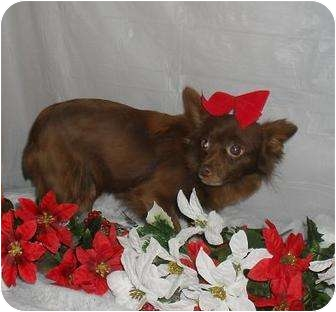 Chihuahua Dog for adoption in Chandlersville, Ohio - Cupcake