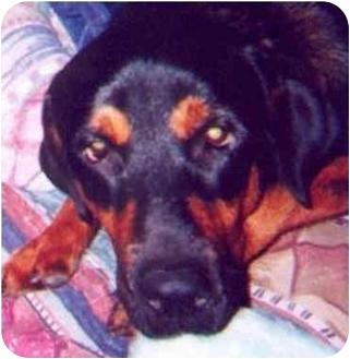 Rottweiler/German Shepherd Dog Mix Dog for adoption in Austin, Texas - Alexander