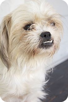 Lhasa Apso/Terrier (Unknown Type, Medium) Mix Dog for adoption in Winnetka, California - MISS MOLLY