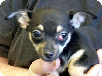 Chihuahua Mix Puppy for adoption in Greencastle, North Carolina - Winkin