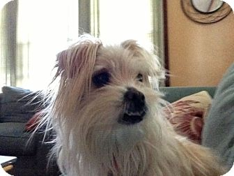 Maltese/Terrier (Unknown Type, Small) Mix Dog for adoption in Worcester, Massachusetts - Muffin