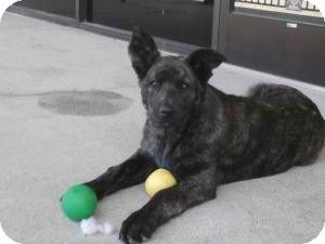 Shepherd (Unknown Type) Mix Dog for adoption in Anza, California - Foxy