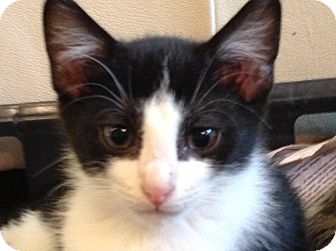 Domestic Shorthair Kitten for adoption in Daisy, Georgia - Tux *Courtesy*