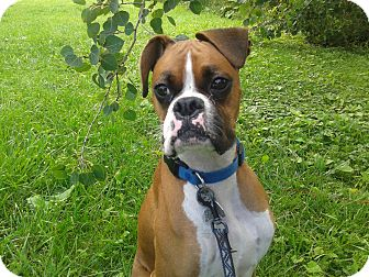 Boxer Dog for adoption in Welland, Ontario - Odie