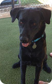 Labrador Retriever Mix Dog for adoption in PORTLAND, Maine - Stella