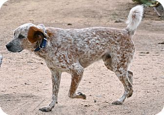 Cattle Dog/Catahoula Leopard Dog Mix Dog for adoption in Cave Creek, Arizona - Clue